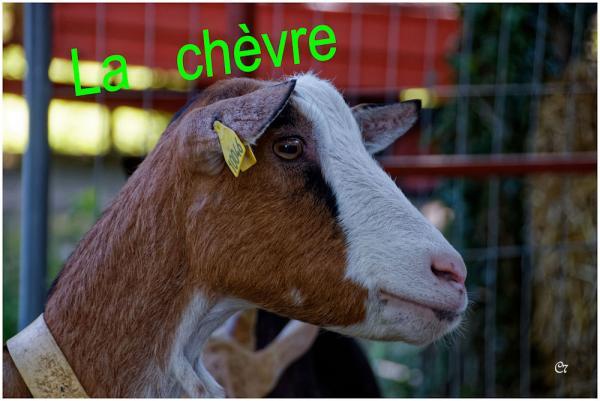 C7 - La chèvre