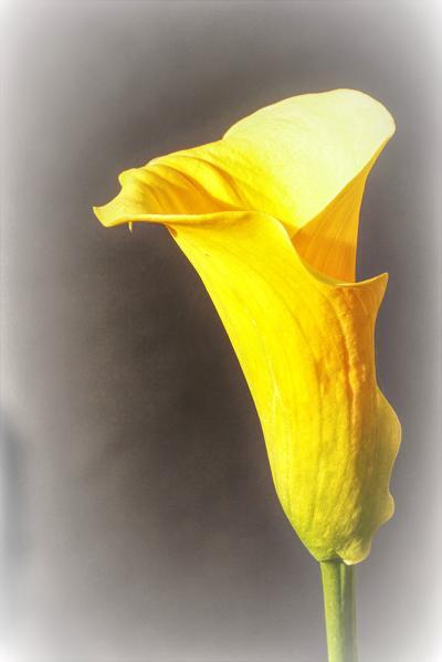 Didier amour - Arum jaune
