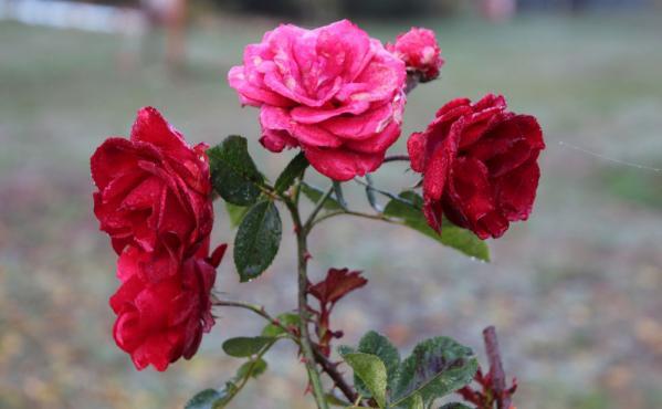 Françoise Pichot - Dernières roses de novembre